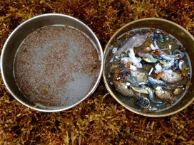 Trawl contents from an overnight trawl in the Sargasso sea. On the left, plastics and organics less than 5mm in size. On the right are items larger than 5mm. Photo by Max Liboiron.
