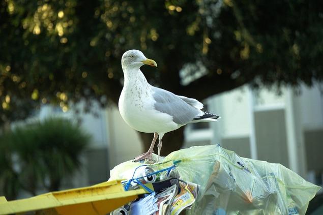 Trash City Gull Fauna Urban Animals Bird Plumage